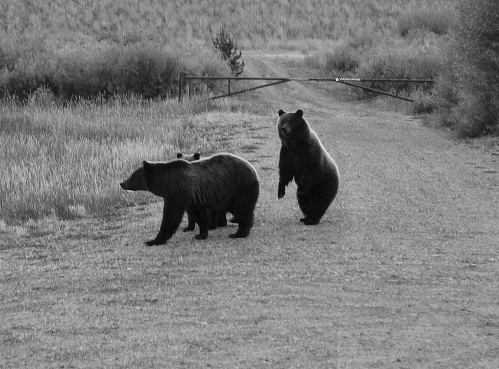 Grizzlyberen in Grand Teton N.P.